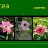 liliacea